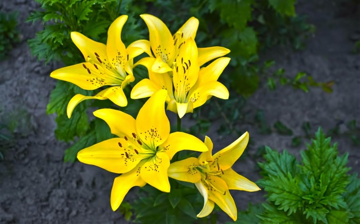 lilies yellow flower-Plants Photo Wallpaper Views:3498