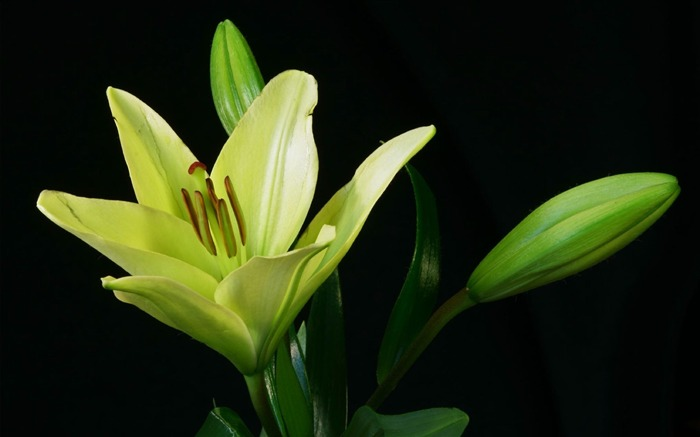 lily plant flower bud-Plants Photo Wallpaper Views:2708