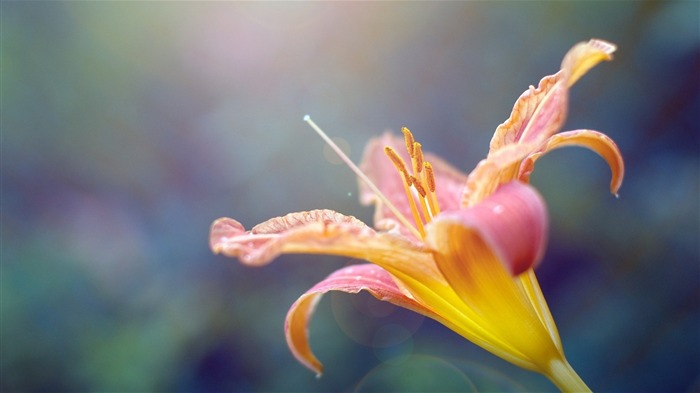 lily plant stamens flower-HD Desktop Wallpapers Views:2271