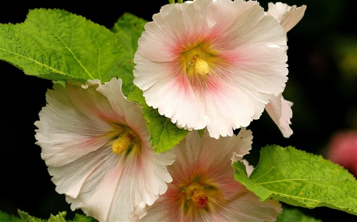 mallow flower close-up-Plants Photo Wallpaper Views:2685