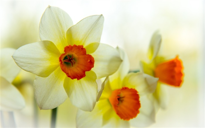 narcissus flower petals-Plants Photo Wallpaper Views:2782