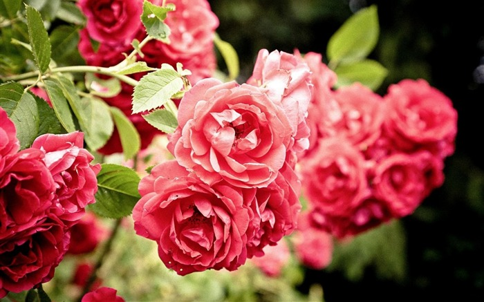 roses flowers bush close-up-Plants Photo Wallpaper Views:2564