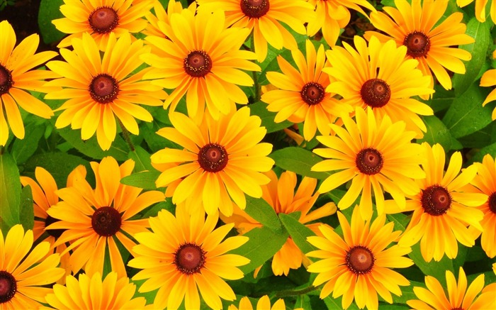 rudbeckia flowers bright yellow-Plants Photo Wallpaper Views:5292