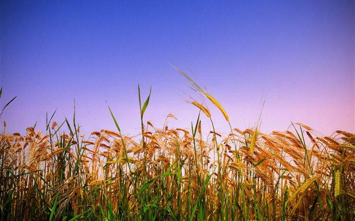 summer grass rye wheat-Pictures HD Wallpaper Views:3295