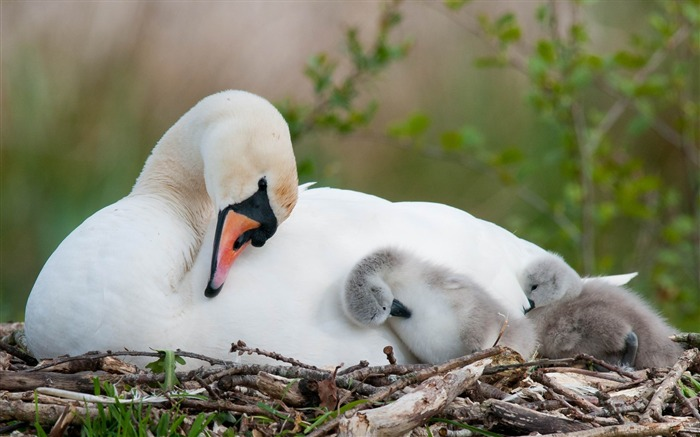 swan bird nest babies-HD Photo wallpaper Views:4206