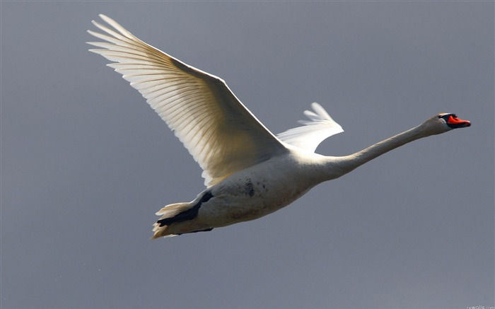 swan flying sky bird-HD Photo wallpaper Views:3296