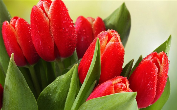 tulips drops leaves flower-Plants Photo Wallpaper Views:1801