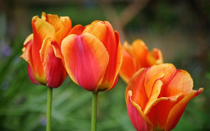 tulips drops leaves flower-Plants Photo Wallpapers Views:1508