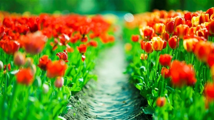 tulips leaves flower-Plants Photo Wallpaper Views:1518
