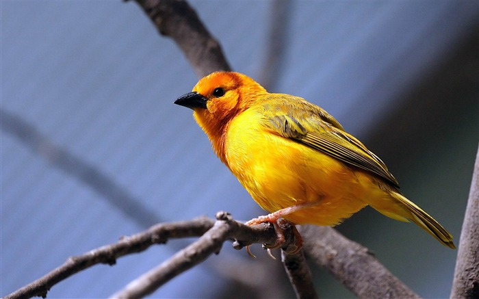 yellow bird-HD Photo wallpaper Views:2574