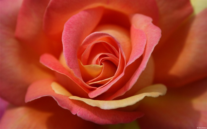 Peach and pink roses windows wallpaper view - Peach rose wallpaper ...