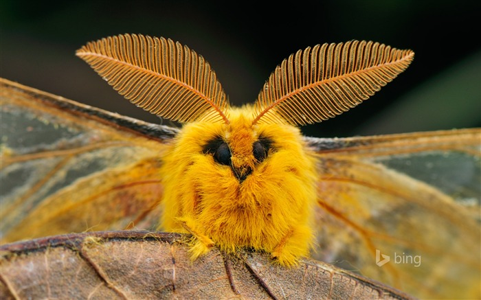 Yellow insect-Bing wallpaper Views:3760