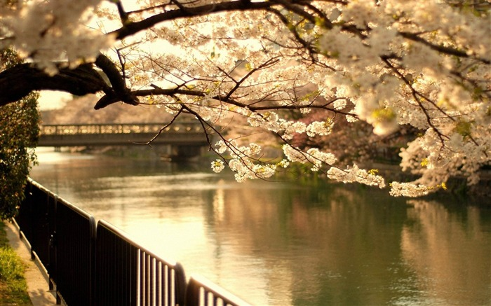 cherry tree bridge spring flowering-Photo Wallpaper Views:3853