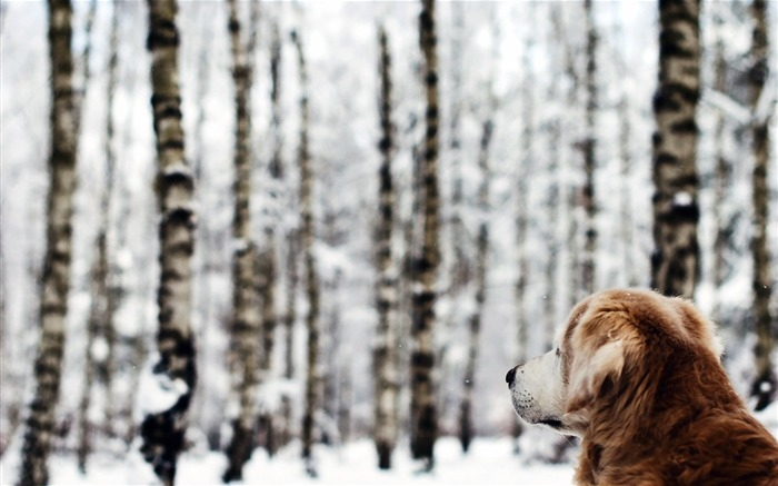 dog forest winter-Animal Photo Wallpaper Views:4160 Date:2/16/2014 2:14:06 AM