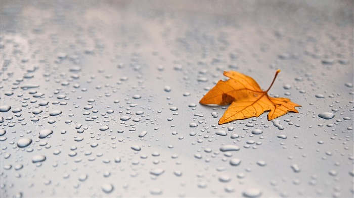 leaf maple surface drops-Macro photography wallpaper Views:2730