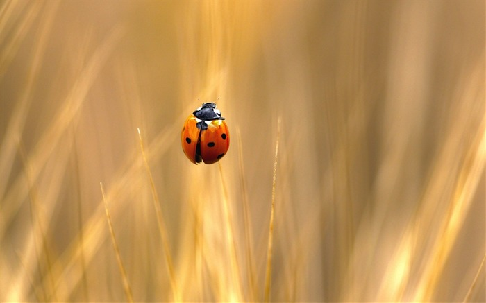 nature insect ladybug-Animal Photo Wallpaper Views:2622 Date:2/16/2014 2:22:06 AM