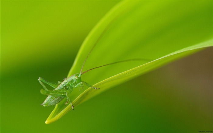 Green leaf grasshopper-Windows Wallpaper Views:1800
