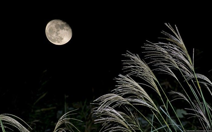 Moon and Japanese silver grass-Windows Wallpaper Views:3237