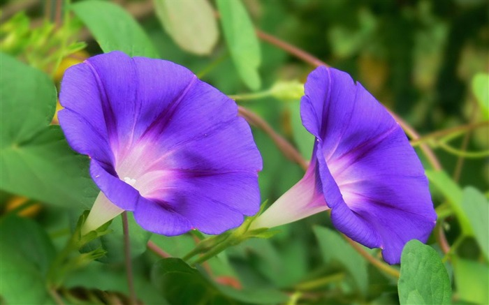 Morning Glory Flower Photography wallpaper 02 Views:2921