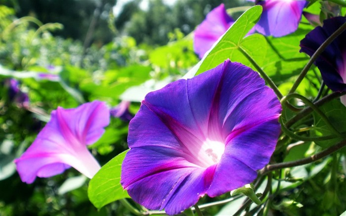 Morning Glory Flower Photography wallpaper 04 Views:2775