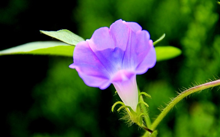 Morning Glory Flower Photography wallpaper 09 Views:2975