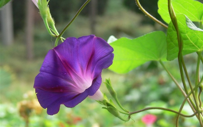 Morning Glory Flower Photography wallpaper 11 Views:2209