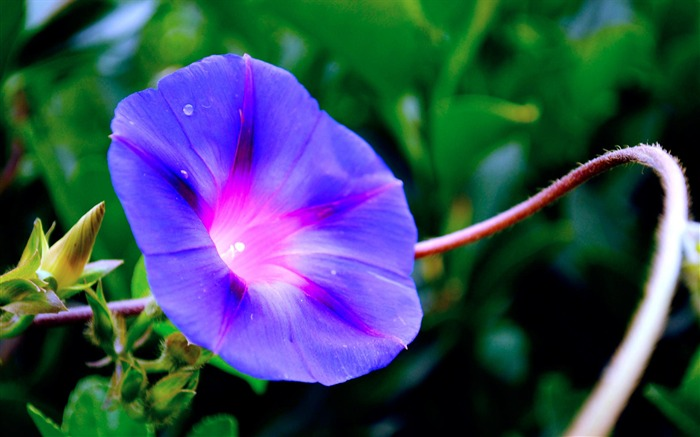 Morning Glory Flower Photography wallpaper 13 Views:2685