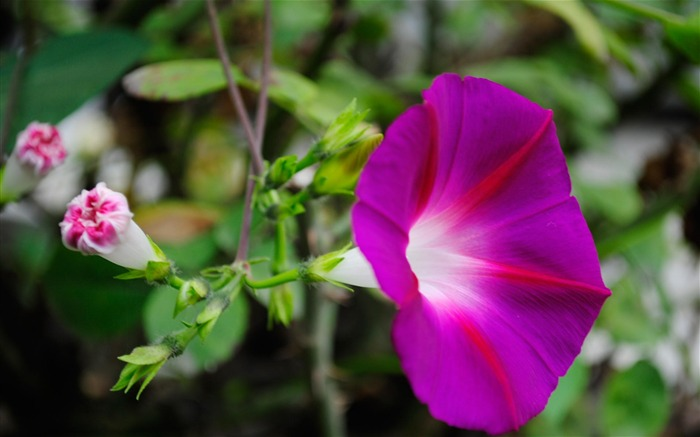 Morning Glory Flower Photography wallpaper 16 Views:2262