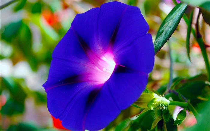 Morning Glory Flower Photography wallpaper 18 Views:2001