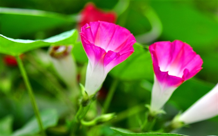 Morning Glory Flower Photography wallpaper Views:15540