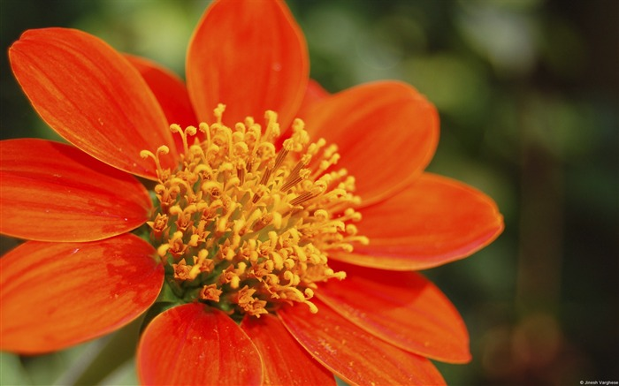 Orange flowers-Windows Wallpaper Views:3599