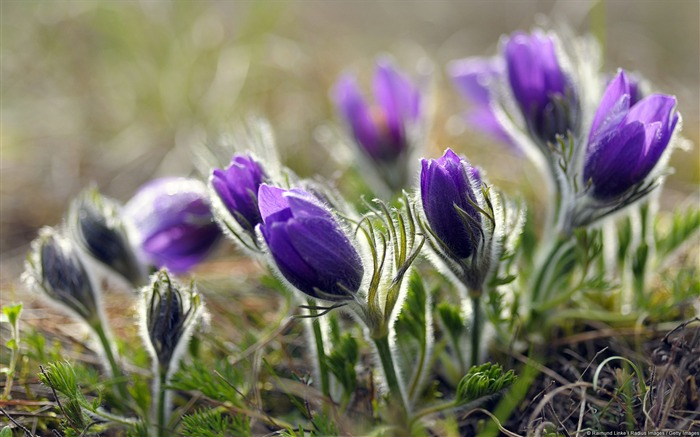 Pulsatilla Flower-Windows Wallpaper Views:2984