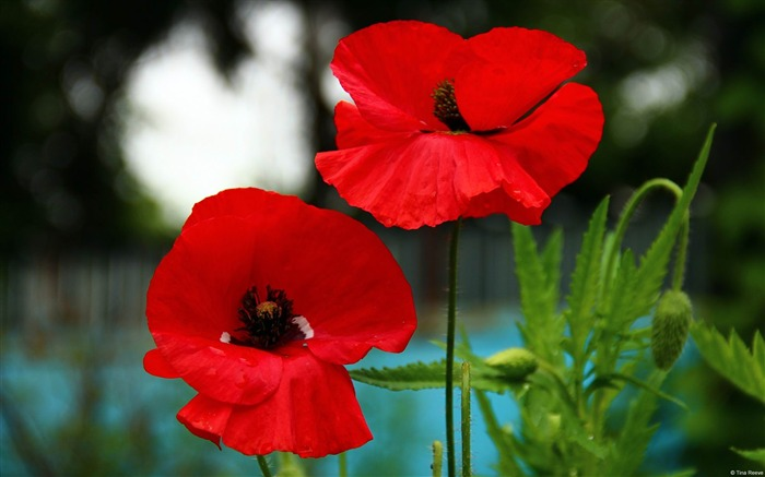 Red poppies-Windows Wallpaper Views:4421
