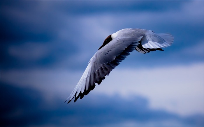 bird sky hd-Animal photo wallpaper Views:3109