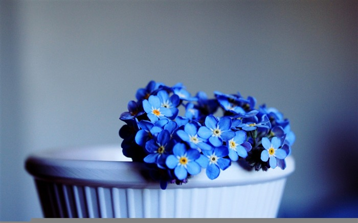 blue not forget me-Flowers HD Wallpaper Views:2064
