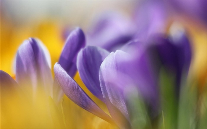crocuses spring bokeh-Flowers HD Wallpaper Views:2104