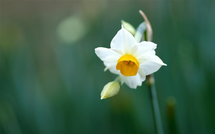 daffodil narcissus-Flowers HD Wallpaper Views:2380