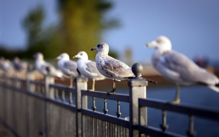 fence seagulls bird-Animal photo wallpaper Views:2243