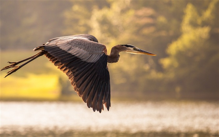 great blue heron bird-Animal photo wallpaper Views:3241