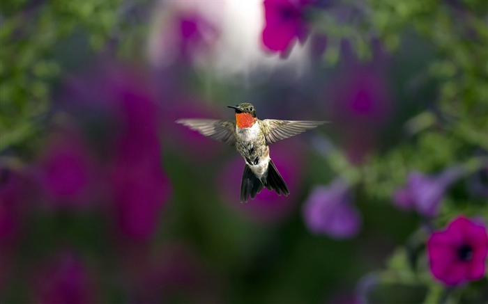hummingbird hd-Animal photo wallpaper Views:2616