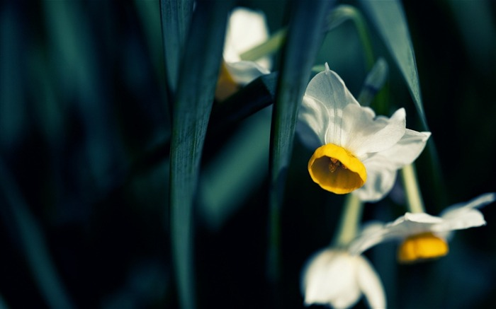 japanese narcissus-Flowers HD Wallpaper Views:1796