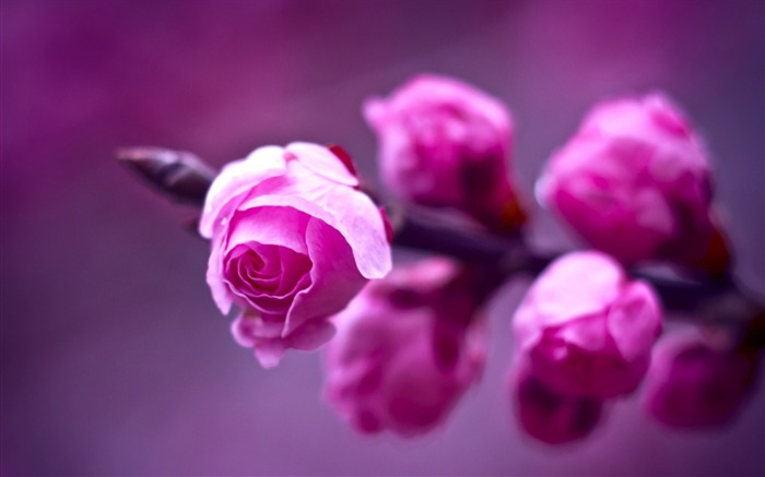 pink roses bokeh-Flowers HD Wallpaper Views:2422