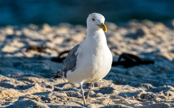 seagull beach bird-Animal photo wallpapers Views:1585