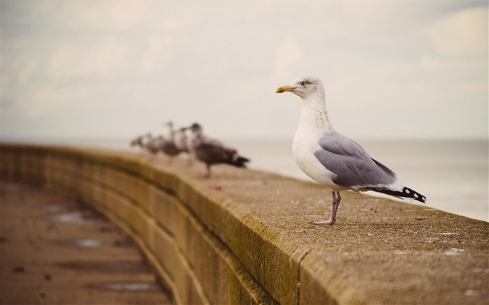 seagulls hd-Animal photo wallpapers Views:2184