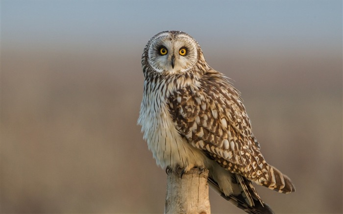 short eared owl-Animal photo wallpaper Views:1653