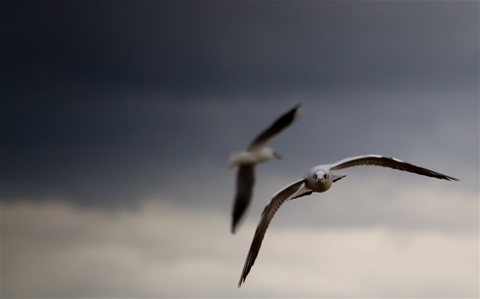 sky seagulls birds-Animal photo wallpaper Views:1712