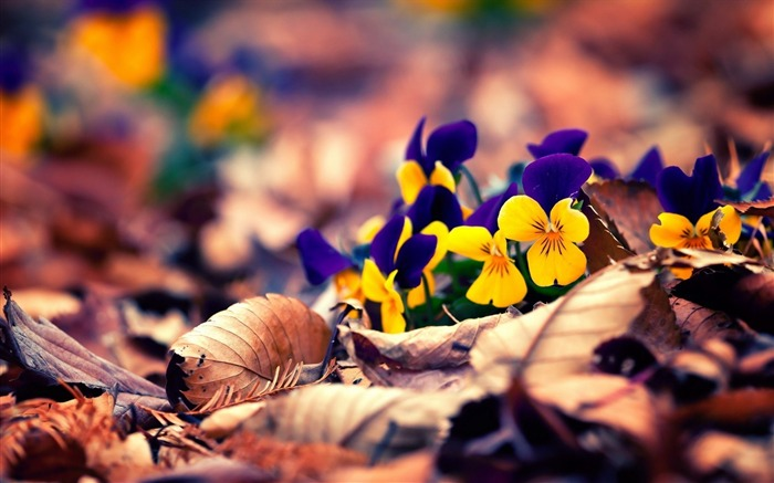 spring pansy pansies-Flowers HD Wallpaper Views:2223