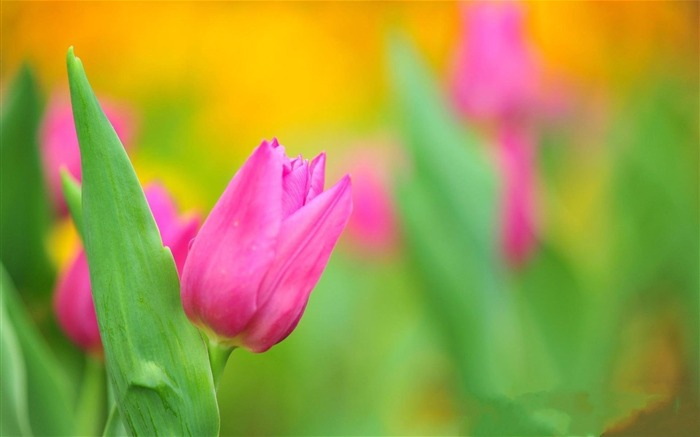 spring pink tulips-Flowers HD Wallpaper Views:3194
