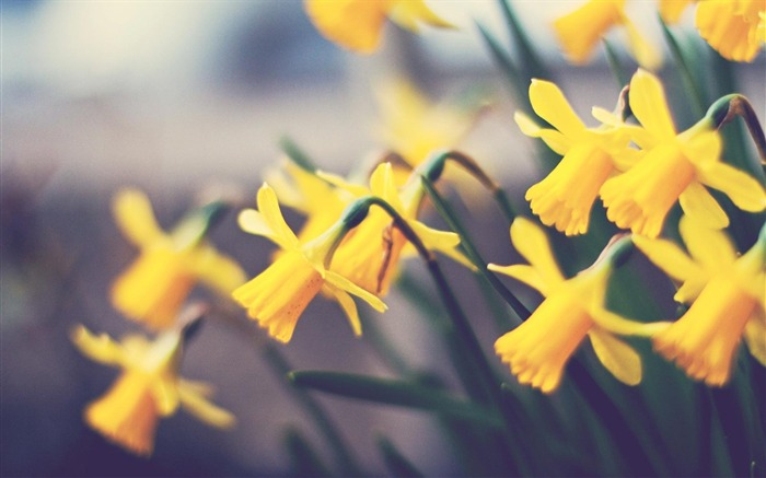 spring yellow daffodils-Flowers HD Wallpaper Views:1648