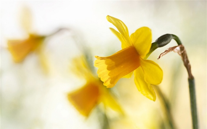 spring yellow narcissus-Flowers HD Wallpaper Views:2448
